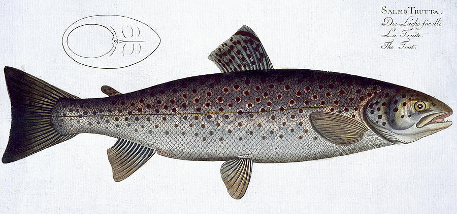 Fish Painting - Sea Trout by Andreas Ludwig Kruger