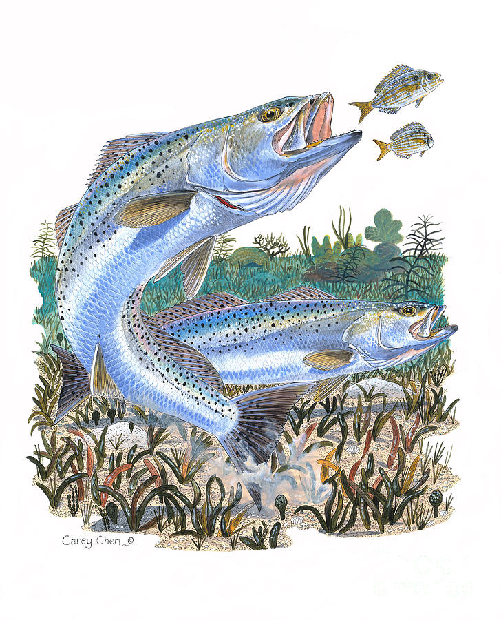 Trout Painting - Sea Trout by Carey Chen