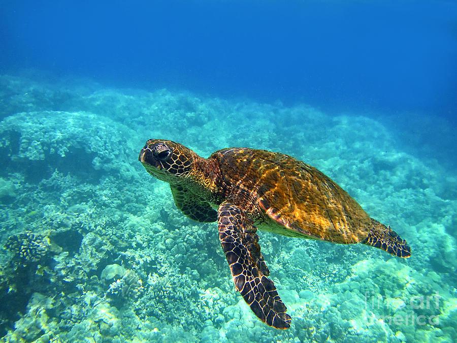 Hawaiian Sea Turtle Photograph - Sea Turtle Close Up by Bette Phelan