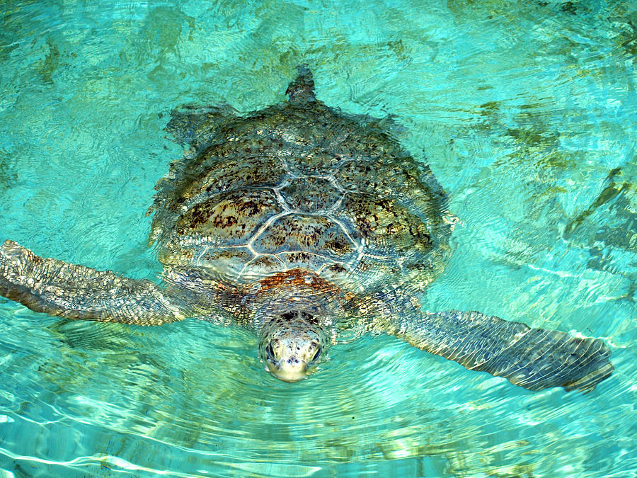 Turtle Photograph - Single Sea Turtle Swimming Through The Water by Jessica Foster