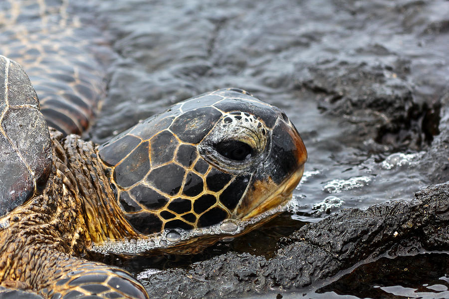 Seaturtle Photograph - Sea Turtle Puako Tidepools by Rick Starbuck