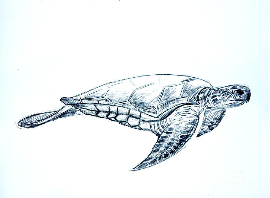 Line Drawing Sea Turtle : Sea turtle drawing by sean hughes
