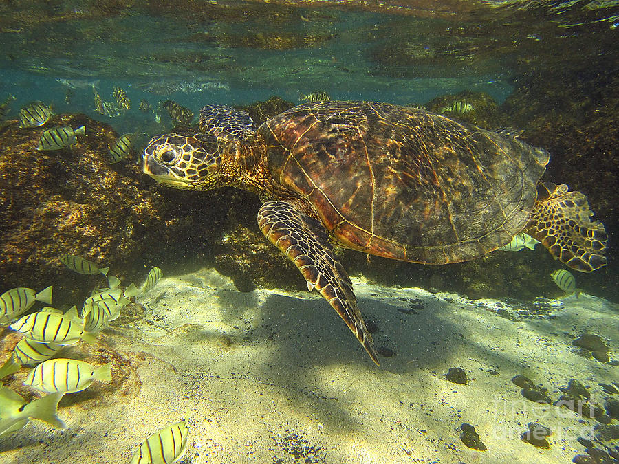 Sea Turtle Swimming by Bette Phelan