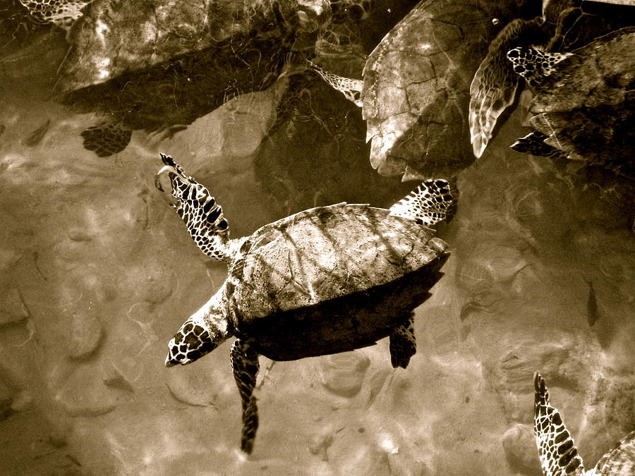 Sea Turtles by Kim Pippinger