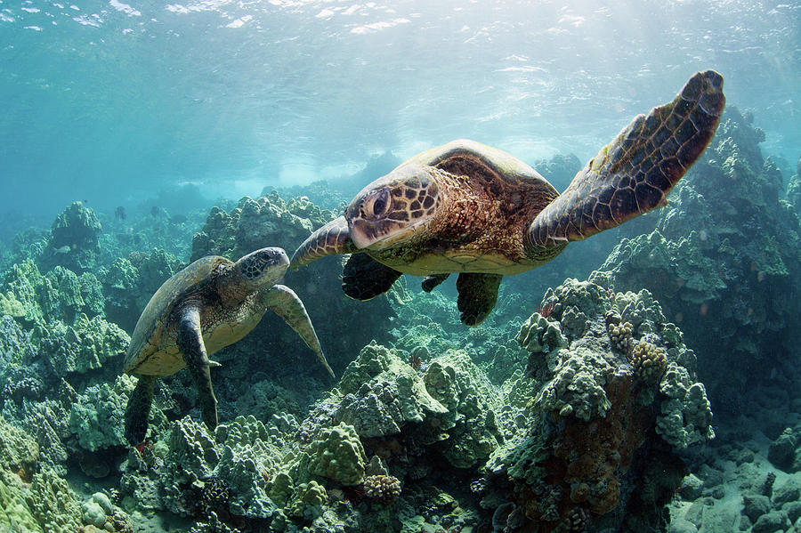 Sea Turtles Photograph by M Swiet Productions