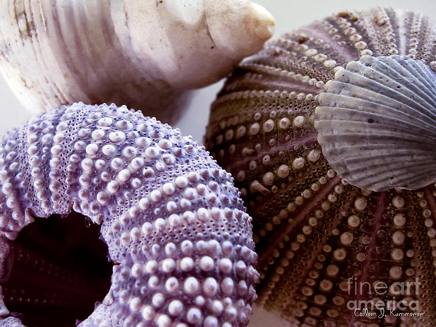 Sea Urchin Photograph - Sea Urchins  by Colleen Kammerer