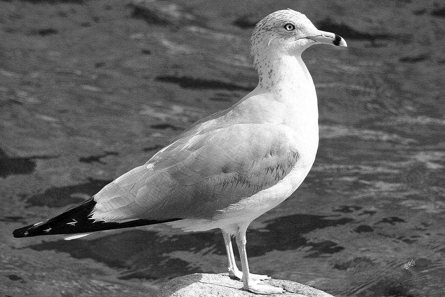 Seagull And Water In Black And White Photograph