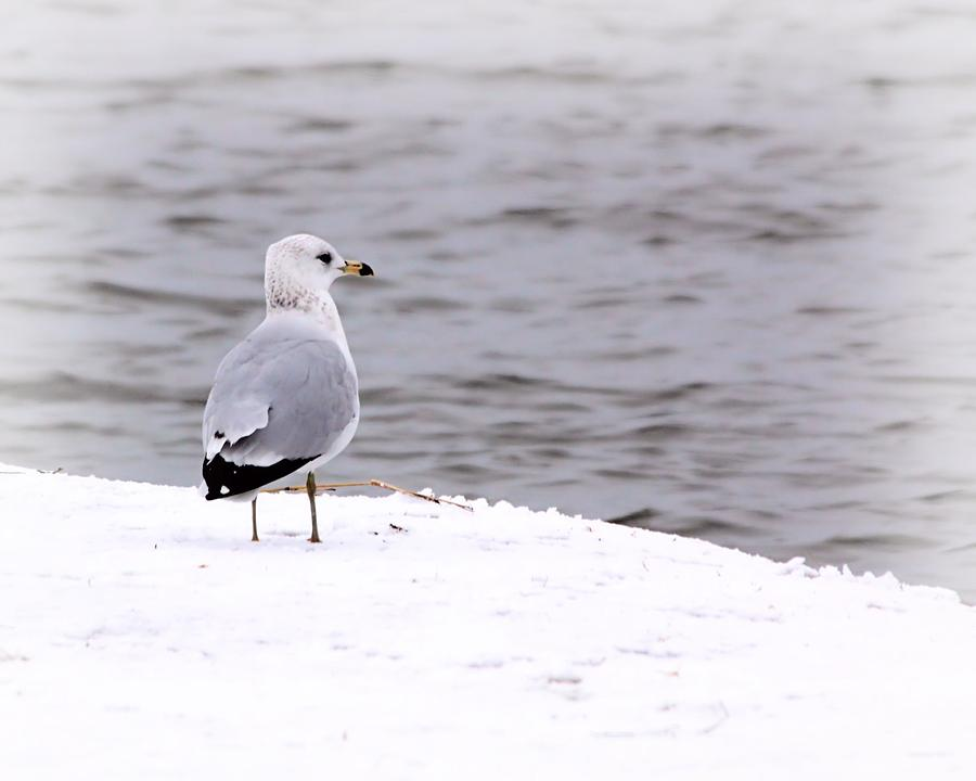 Seagull Photograph - Seagull At The Lake In Winter by Elizabeth Budd