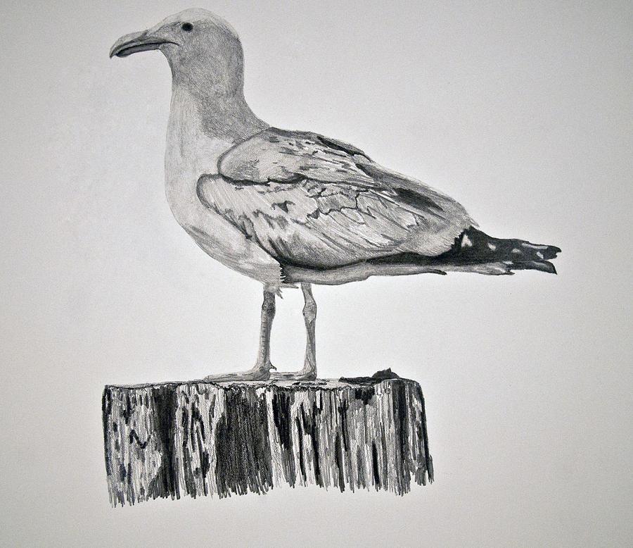 Seagull Drawing - Seagull by Chamar Radloff