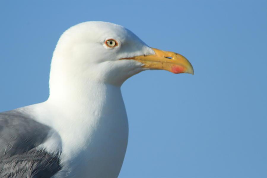 Seagull Photograph - Seagull  by Diane Rada