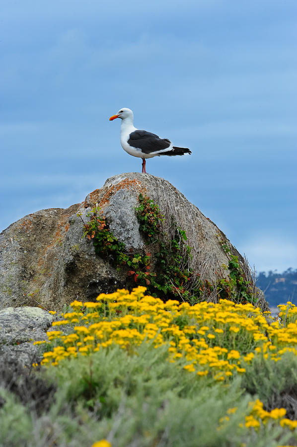 Monterey Photograph - Seagull by Don and Bonnie Fink
