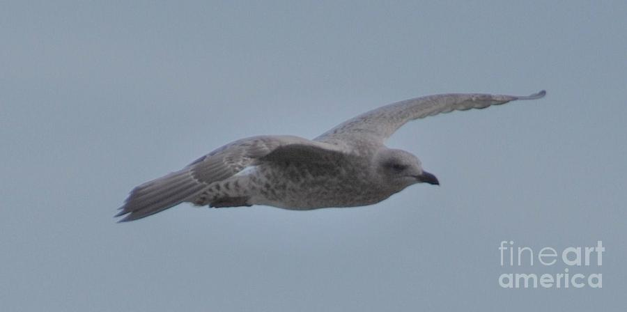 Seagull In Flight # 2 Photograph by Marcus Dagan