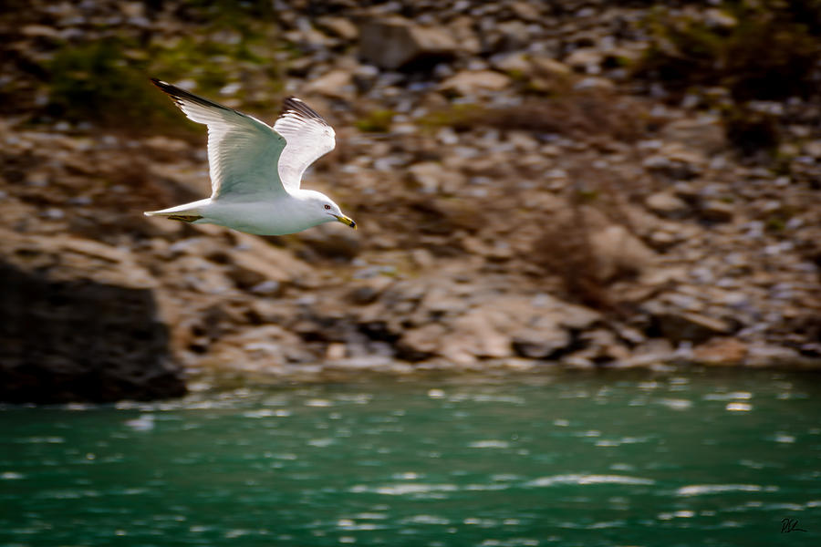 Niagara Falls Photograph - Seagull in Flight by Pat Scanlon