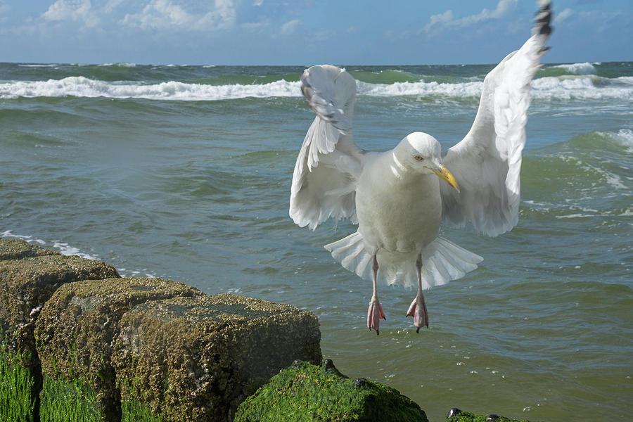 Seagull In Flight Photograph by Siegfried Layda