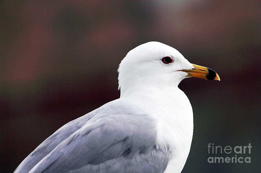 Montreal Photograph - Seagull by John Rizzuto