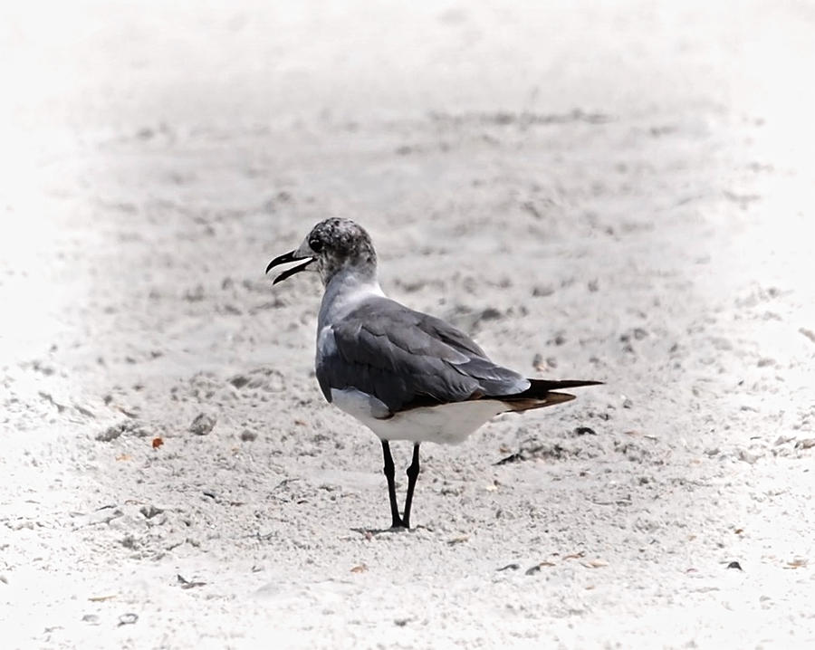 Bird Photograph - Seagull by Judy Hall-Folde