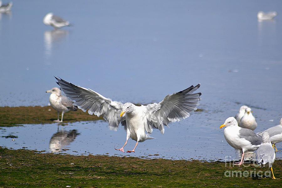 Seagull Photograph - Seagull Landing by Marsha Schorer