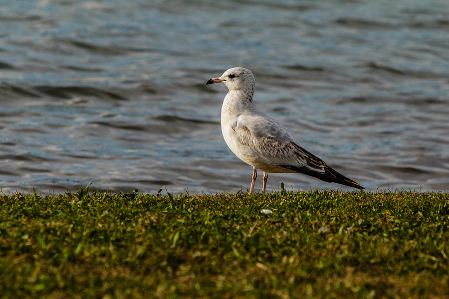 Kennedy Park Photograph - Seagull by SAURAVphoto Online Store
