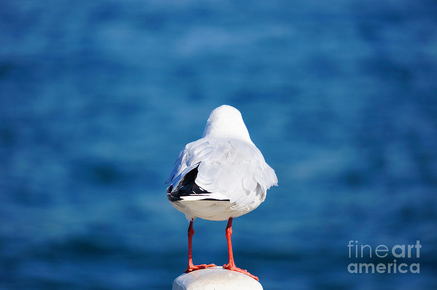 Seagull Photograph - Seagull With Red Feet Gazing At The Sea by Beverly Claire Kaiya