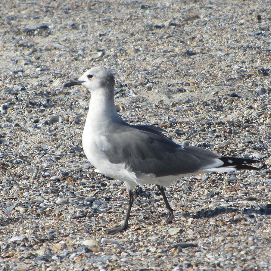 Bird Photograph - Seagulls At Fernandina 5 by Cathy Lindsey