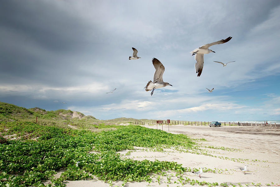 Seagulls In Flight At North Padre Photograph by Olga Melhiser Photography
