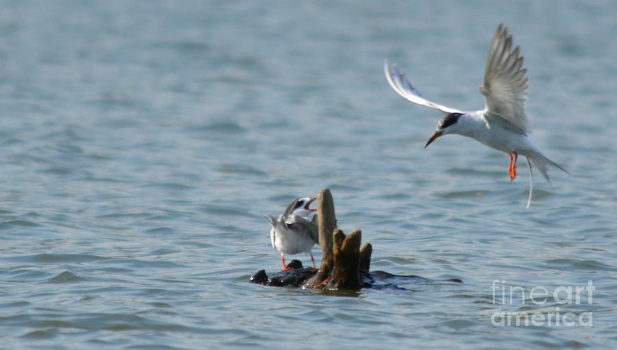 Seagulls Series Photo D Photograph