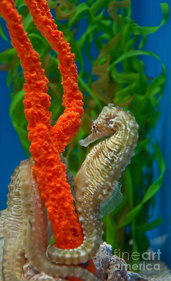 orange seahorses