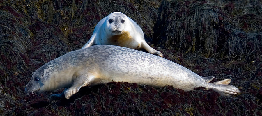 Harbor Seal Photograph - Seal Massage 5662 by Brent L Ander