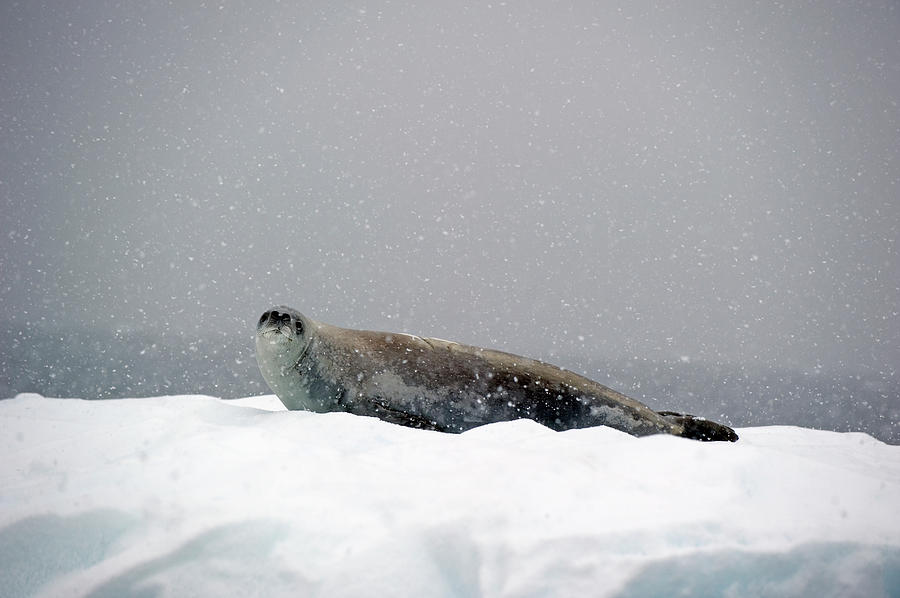 Seal On An Iceberg In A Snowfall Photograph by Jim Julien / Design Pics
