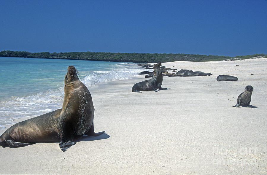 Sealions Play On The Beach Photograph