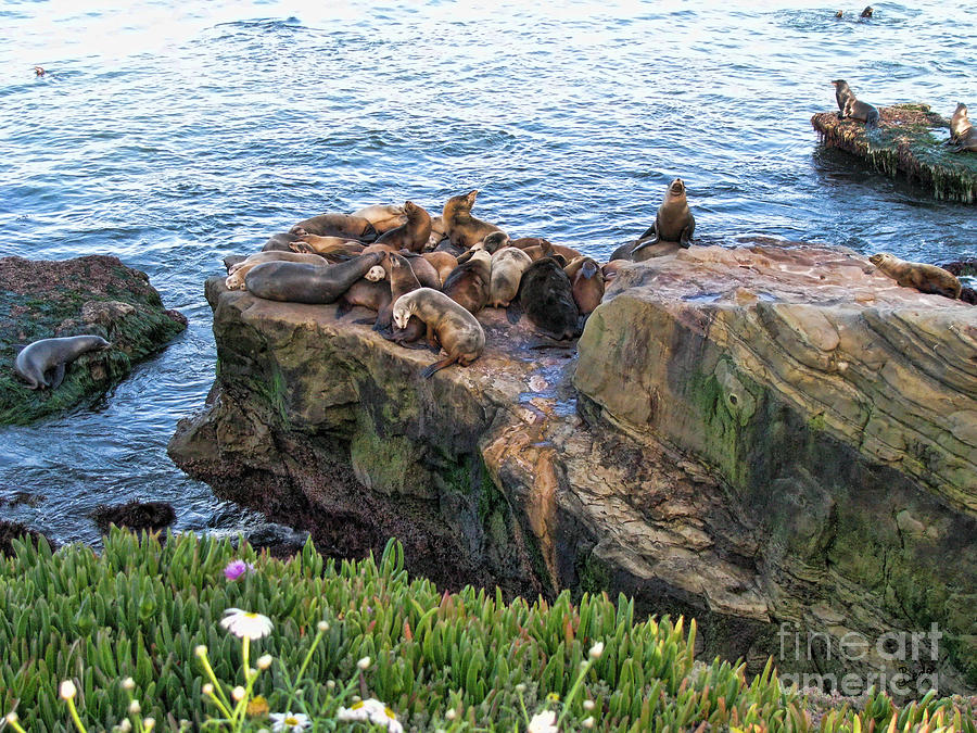 Seal Photograph - Seals And Pups by Bedros Awak