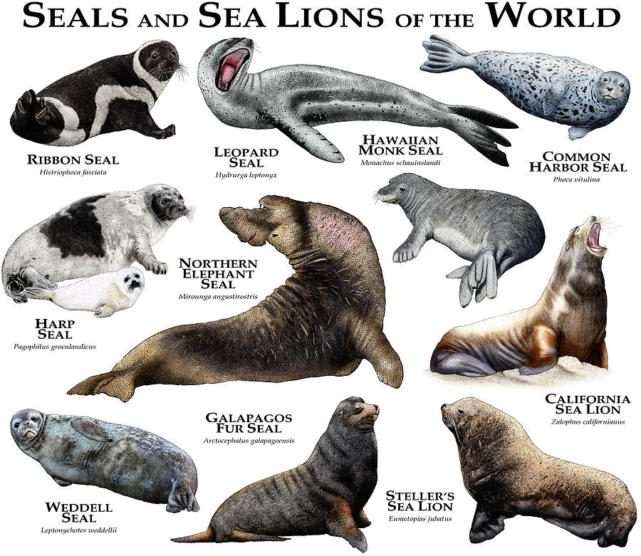 Seals And Sea Lions Of The World Photograph by Roger Hall
