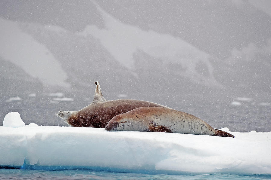 Seals Laying On A Piece Of Ice Photograph by Jim Julien / Design Pics