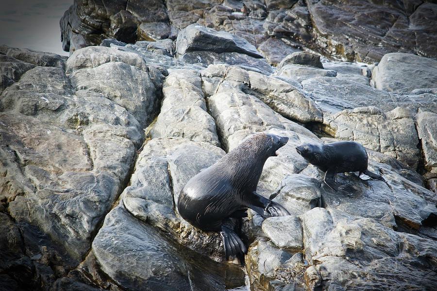 Seals On A Rock Photograph by Jim Julien / Design Pics