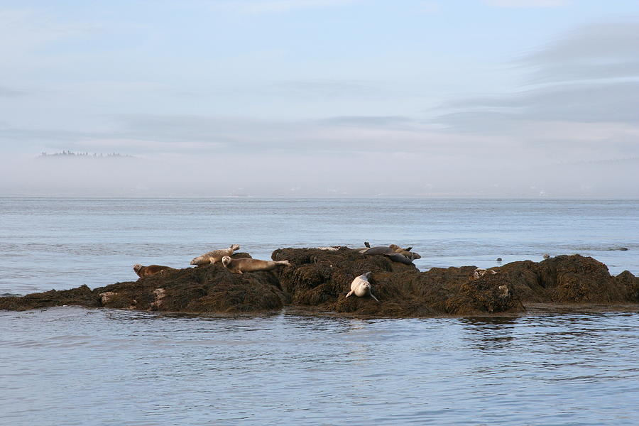 Seals Photograph - Seals On Island by Carolyn Reinhart