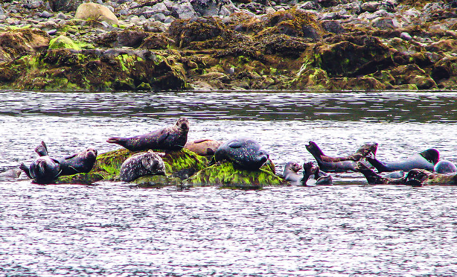 West Coast Photograph - Seals Resting by Robert Bales