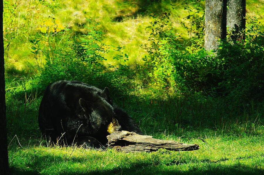Bears Photograph - Searching For That Last Termite by Jeff Swan