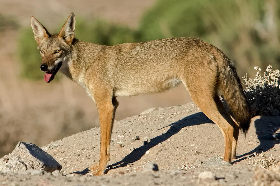 Coyote Photograph - Searching For Water by Robert Bascelli