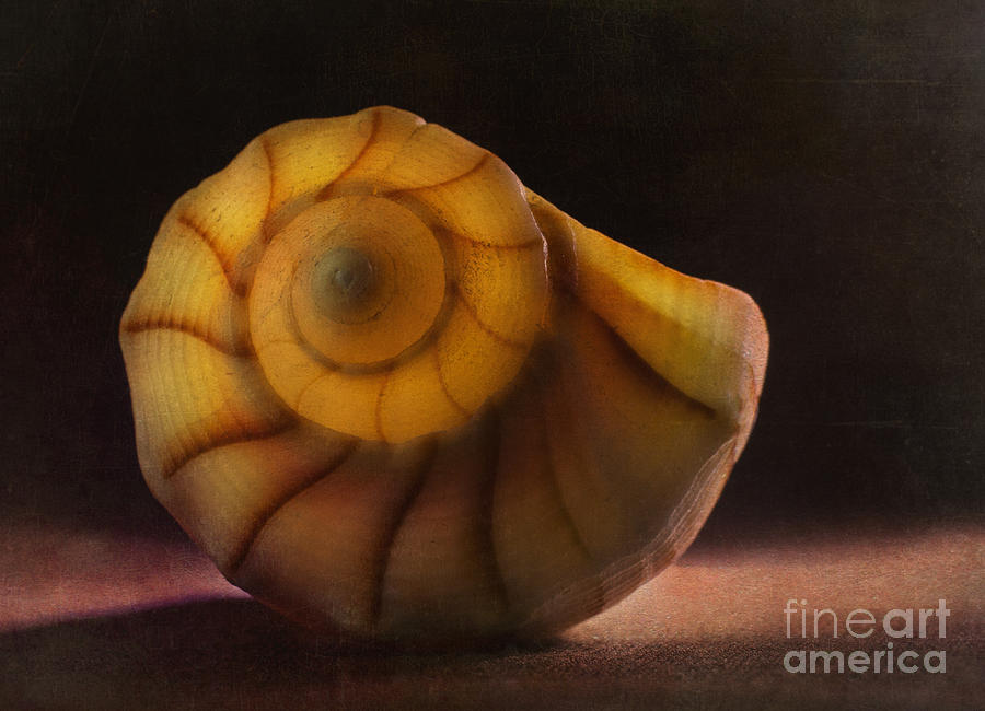 Seashell Photograph - Seashell by Elena Nosyreva