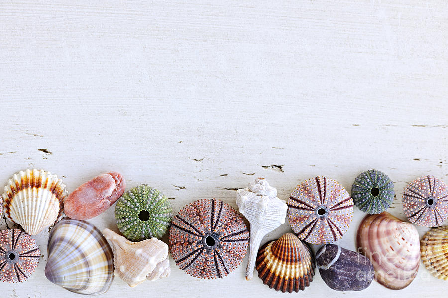 seashells on wood background photograph by elena elisseeva