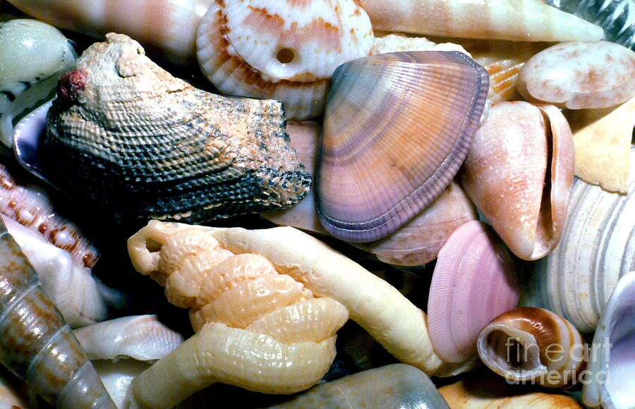 Shell Photograph - Seashells Puerto Rico by Thomas R Fletcher