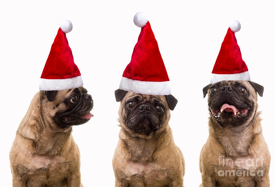 Seasons Greetings Christmas Caroling Pug Dogs Wearing Santa Claus ...