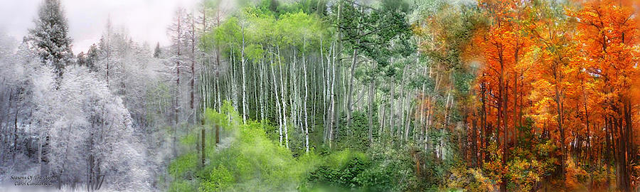Aspen Mixed Media - Seasons Of The Aspen by Carol Cavalaris