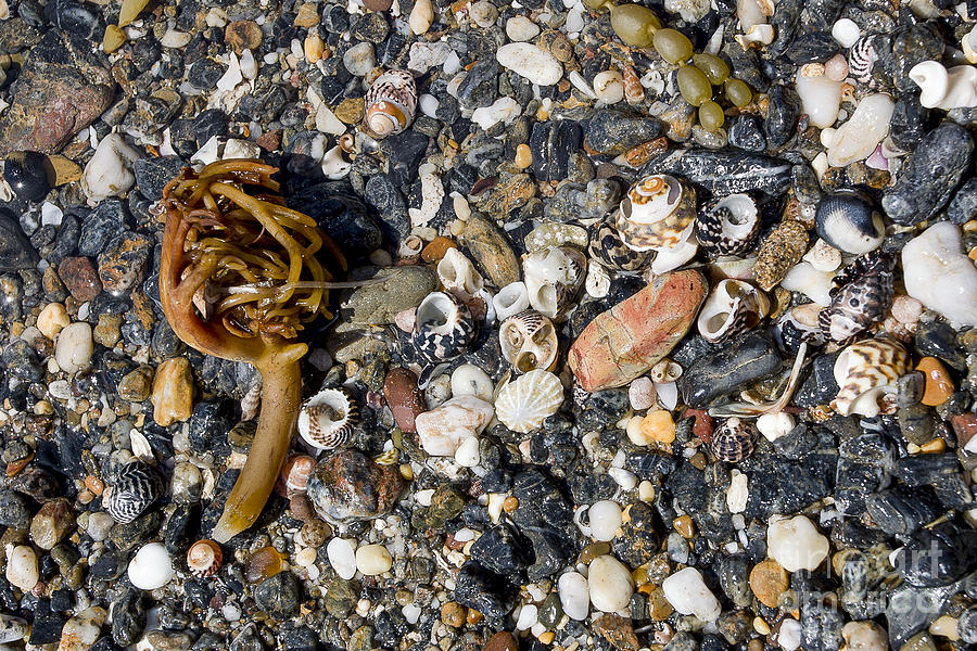 Beach Photograph - Seaweed And Shells by Steven Ralser