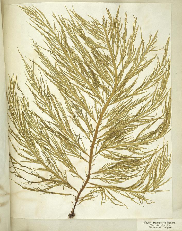 Alga Photograph - Seaweed (desmarestia Ligulata) by Science Photo Library