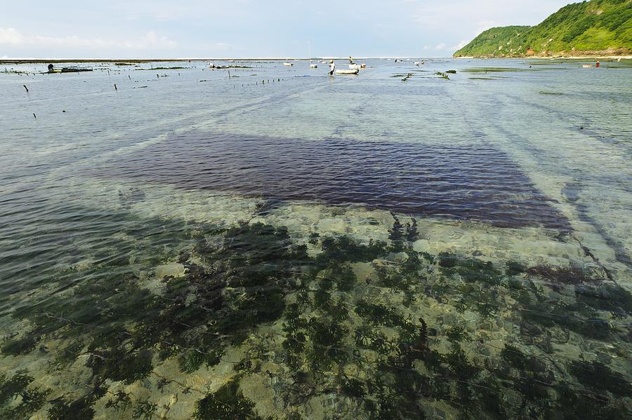 Plant Photograph - Seaweed Farming, Bali by Science Photo Library