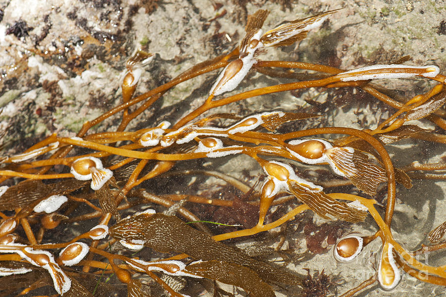Seaweed Photograph - Seaweed Swirls by Artist and Photographer Laura Wrede