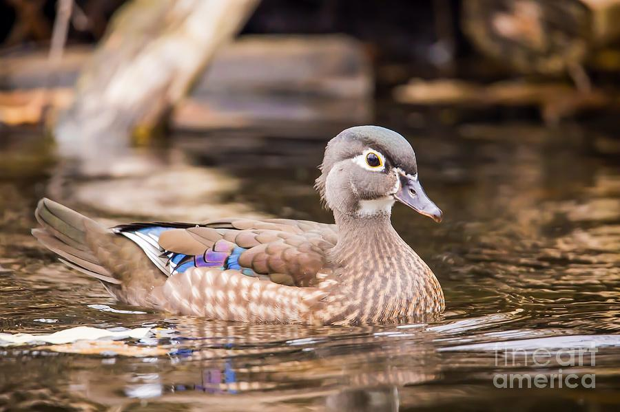 Duck Photograph - Secluded - Wood Duck by Nikki Vig