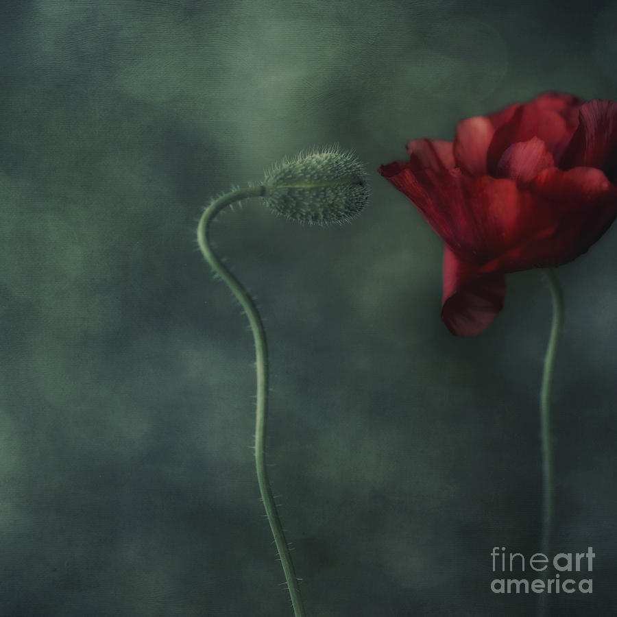 Poppy Photograph - Secret Affair by Priska Wettstein