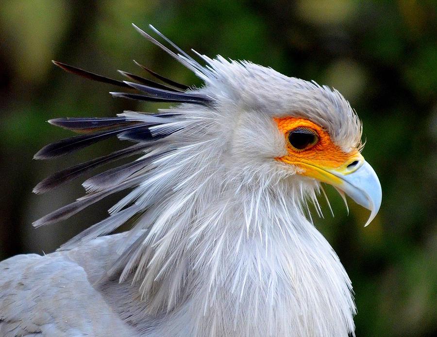 Secretary Bird Close Up Photograph By Iunona Harris